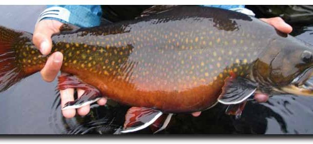 Labrador's Giant Brook Trout, fly fishing for giant brookies from Minipi Camps and Crooks Lake Lodge