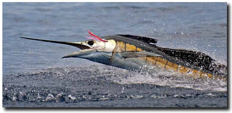 Costa Rica: The Saltwater Angler's Paradise for sailfish, roosterfish, dorado, wahoo, marlin