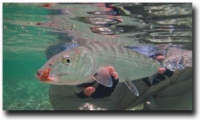 Bair's Angler releasing a nice South Andros Bonefish, Courtesy of Marcos Furer
