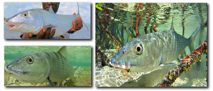 Bonefishing Essential Destinations: The Lodges of South Andros, Bahamas