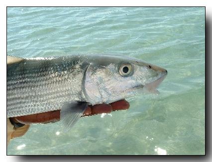 A nice Kamalame Cay bonefish