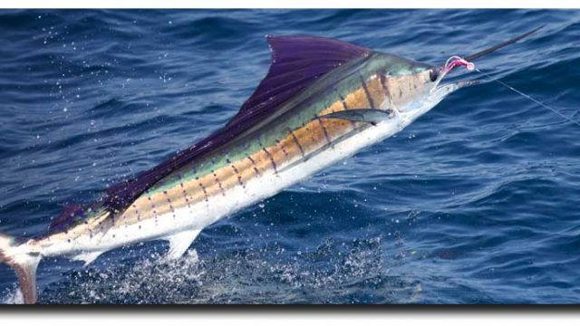 57 Sailfish on a Fly in One Day in Guatemala