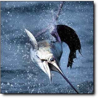 Nice Pacific Sailfish