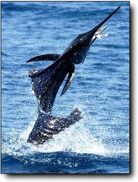 Guatamala sailfishing at its best