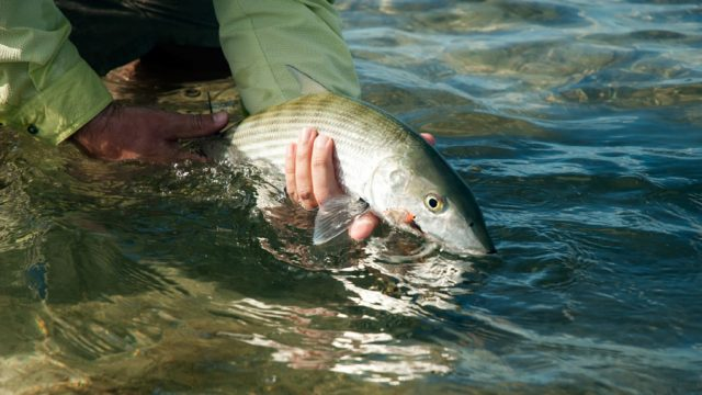 Best Bonefishing in 10 Years and 30% Off at Delphi